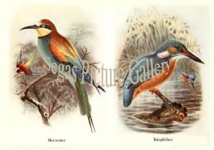 Bee-eater & Kingfisher